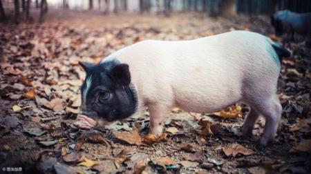 山西曝光一起因不担当、不作为导致170头猪未经检疫流出县域案例