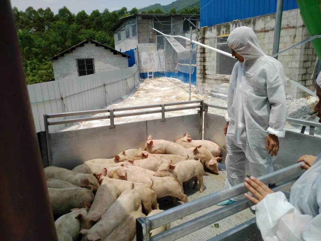 猪苗由扬翔公司的全封闭式空气过滤拉猪车配送