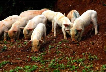 农民日报:生猪生产显向好迹象,养殖盈利大幅提升!