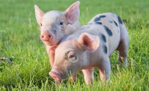 猪肉概念股卷土重来,生猪养殖业板块股价纷纷拉升