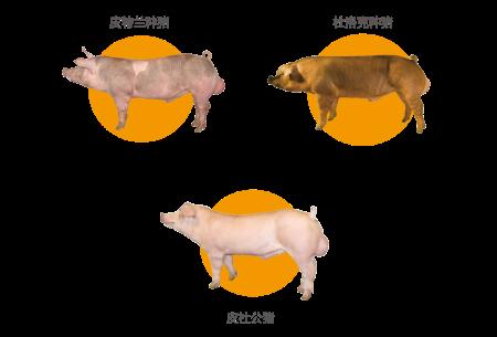 (天兆优质种猪)