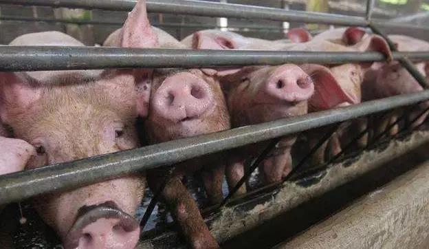 猪高热病的防治绝招,不知道的养猪户损失惨重!