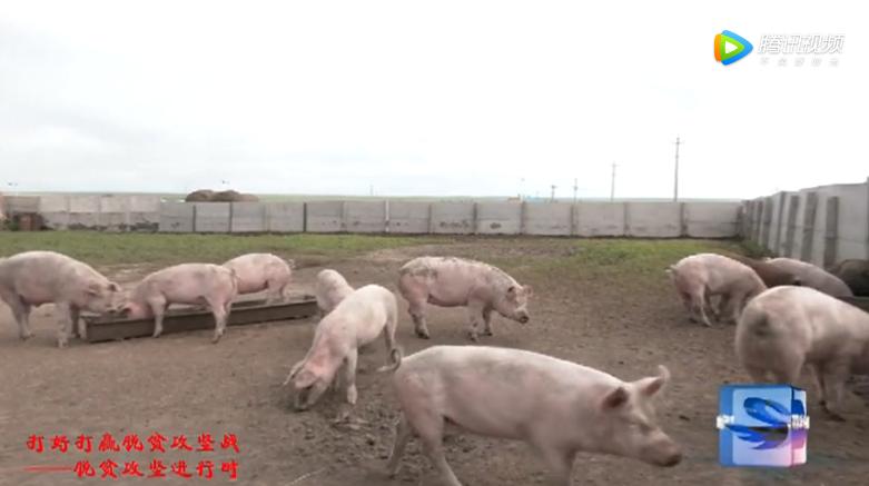 生猪饲养增收益 特色养殖显成效