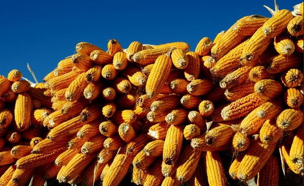 2019年09月1日全国各省玉米价格表及行情走势报价