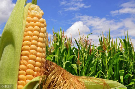 2019年09月2日全国各省玉米价格表及行情走势报价