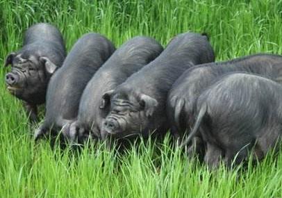 猪圈里的危机:四川当地的成华猪濒临灭绝比大熊猫都稀少
