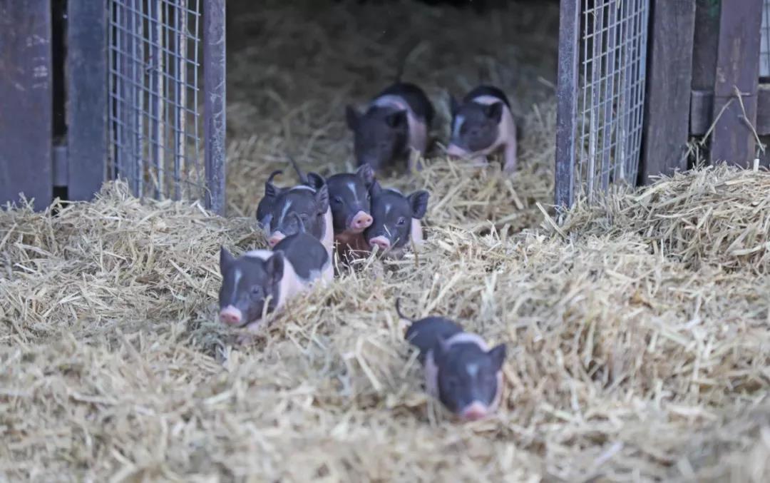 大数据也可应对猪周期,以智慧农业熨平猪周期