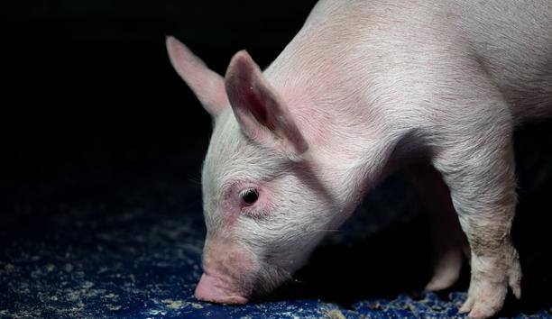 中国猪肉进口格局巨变巴西或受益,警惕走私和第三国转运猪肉