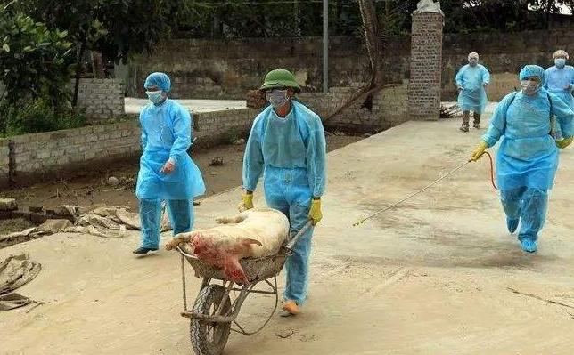 越南发生非洲猪瘟疫情