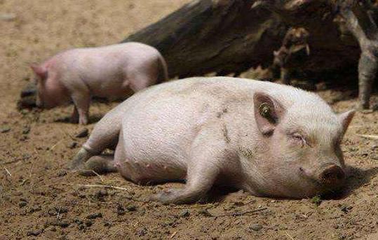 猪增生性回肠炎