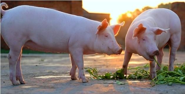非瘟形势下,基因组选择如何为猪遗传改良提供有力的技术支持?