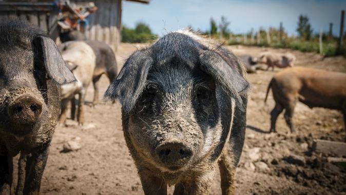 9月5日全国生猪价格内三元报价表,上海市价格和涨幅双双登顶