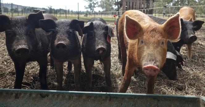 9月5日全国生猪价格土杂猪报价表,东三省生猪产能恢复较好,上涨呈现颓势