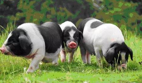 鼓励生猪养殖