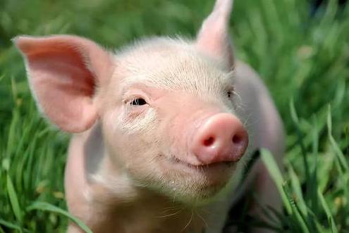 猪肉涨价不能全怪非洲猪瘟,利益分配失衡掣肘中国猪业发展