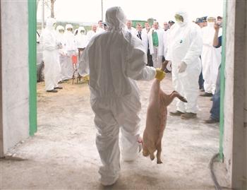 非洲猪瘟全球蔓延