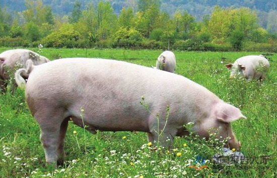 9月7日全国生猪价格内三元报价表,今日猪价宁夏涨幅最大,每公斤上涨0.75元