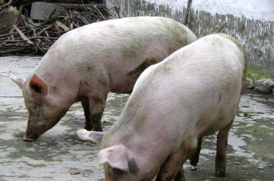 9月7日全国生猪价格土杂猪报价表,受缺猪影响,四川土杂猪价月增长最快