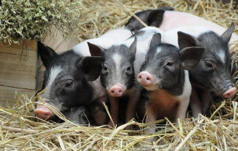9月7日全国仔猪价格报价表,仔猪价格多地迎破百,湖南两地外三仔猪价达120元