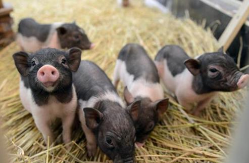 供需失衡推高烟台猪价,产能恢复猪价上涨空间或将收窄