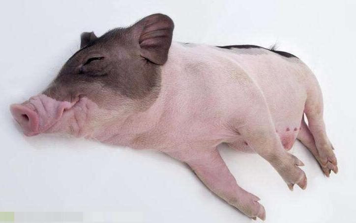 猪场猪猪该怎么驱虫?不同阶段猪猪驱虫方法有技巧