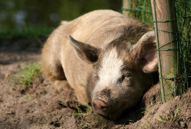 9月8日全国生猪价格内三元报价表,今日猪价天津涨幅最大,每公斤上涨1.62元