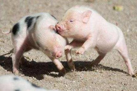 9月9日全国生猪价格外三元报价表,中秋节消费刺激,猪价开始呈现飘红走势