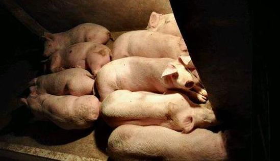 """9月9日全国各省市仔猪价格报价表,仔猪价格有""""降温""""趋势"""