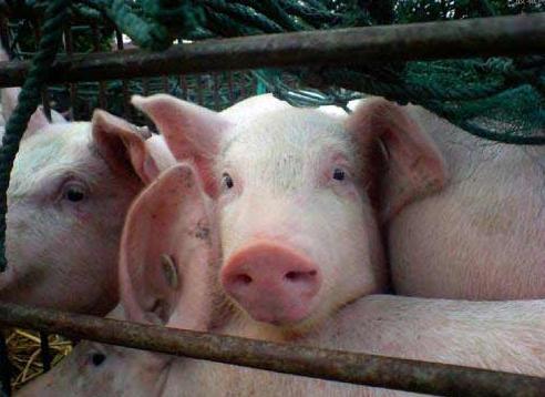 9月10日全国生猪价格内三元报价表,广西日涨幅最高,广东报价位居全国榜首