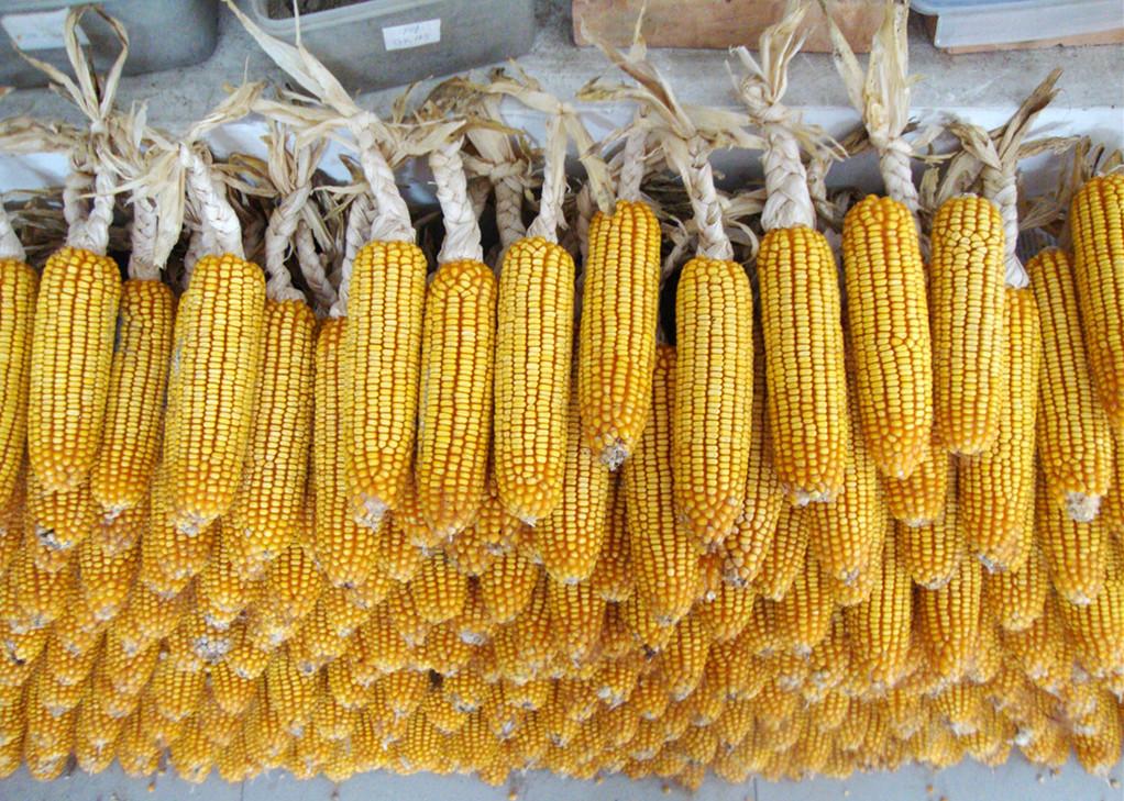 9月10日全国玉米价格行情表,玉米价格萎靡不振,呈现小幅下滑趋势