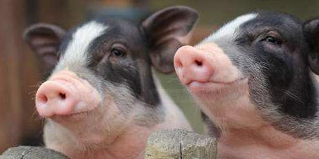 """成本上涨,散小养猪出路在哪里?生猪产能恢复还得靠""""组合拳"""""""