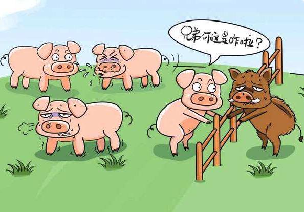 2019菲律宾确认发生非洲猪瘟疫情,疫区一公里内超7400头猪已被扑杀