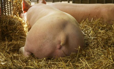 猪场出现母猪流产?流产母猪的处理!
