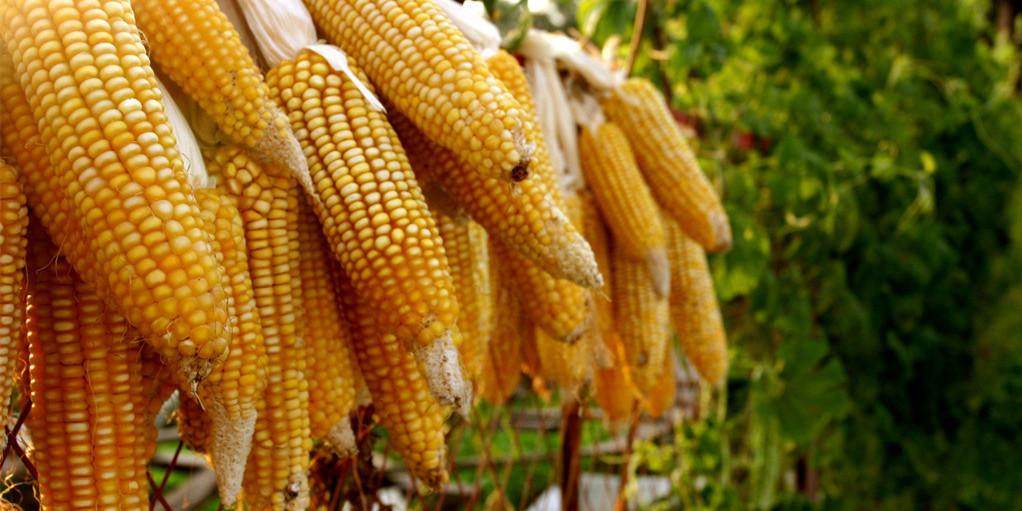 9月11日全国玉米价格行情表,北京玉米价格又双叒叕下跌了