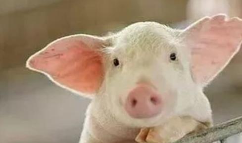 9月11日全国生猪价格内三元报价表,猪价上涨蓄势待发,两广呈现下降神反差