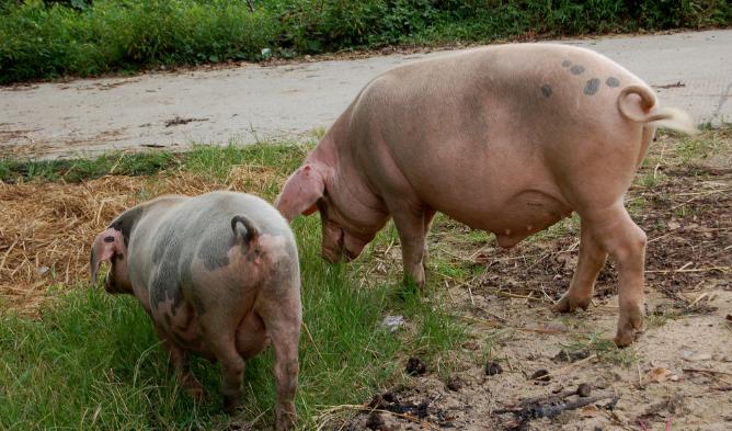 9月11日全国生猪价格外三元报价表,生猪价格涨跌互现,预计后期上涨空间有限