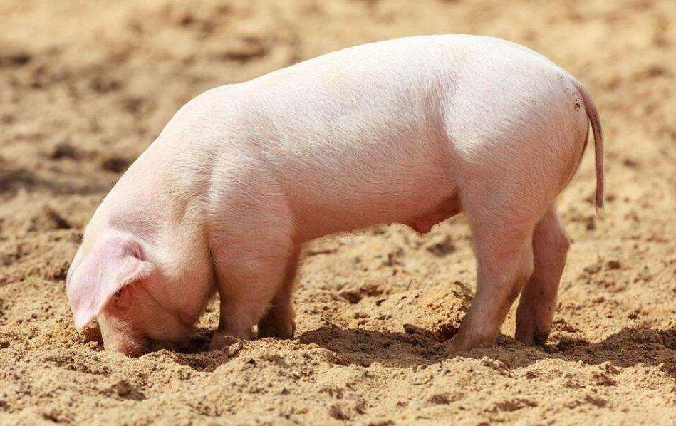 养猪吃猪爱猪玩猪,不得不说我们与猪之间的不解之缘