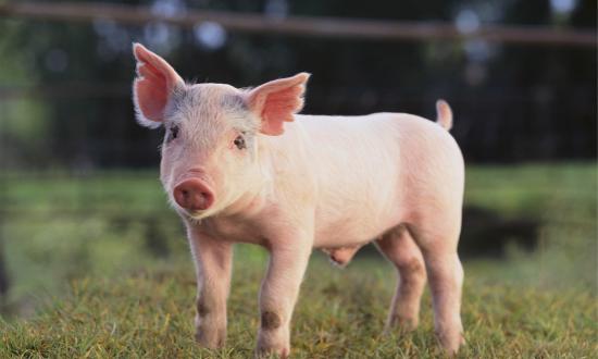 非洲猪瘟百年,为何只有中国搞出了疫苗?