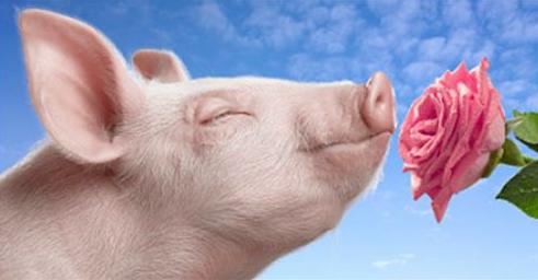 9月12日全国生猪价格内三元报价表,猪价继续上涨,生猪养殖效益持续提升