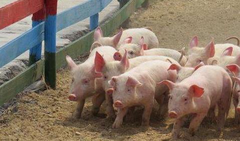 吉林年底生猪饲养量将达2010万头,预计向外调运生猪269万头