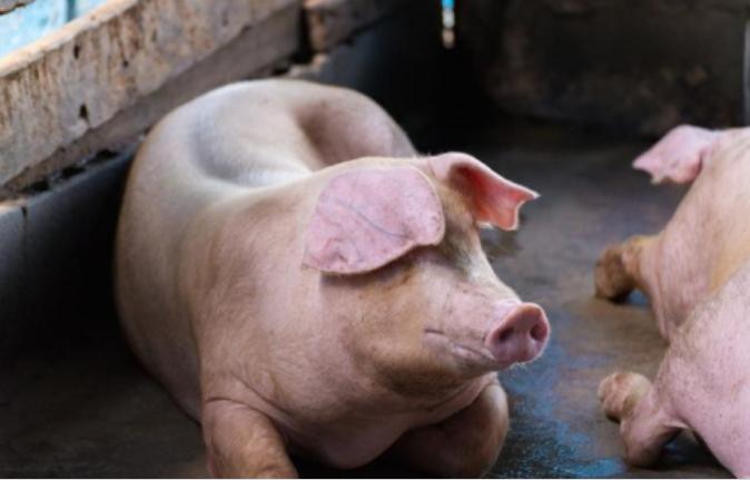 母猪饲喂技巧大全,你想知道的都在这里!