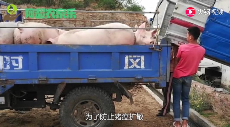 """""""贩猪团""""的危险与暴利, 跨省偷运万头猪净利竟超两百多万"""