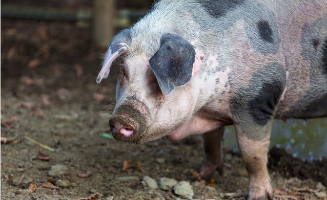 年产40万头猪 这家超级养猪大户悄悄冲刺IPO