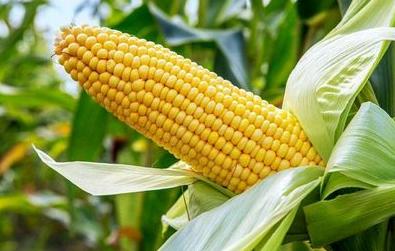 9月16日全国玉米价格行情表,玉米库存充足,需求低迷价格难提振