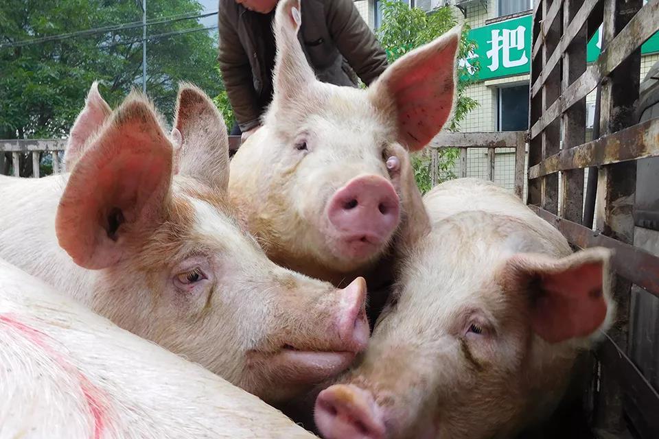 """""""炒猪团""""落网,上万生猪被截获!跨省偷运万头猪净利竟超两百多万"""