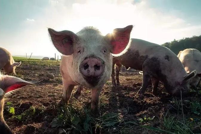 利润率超过100%!生猪养殖迎来行业黄金周期