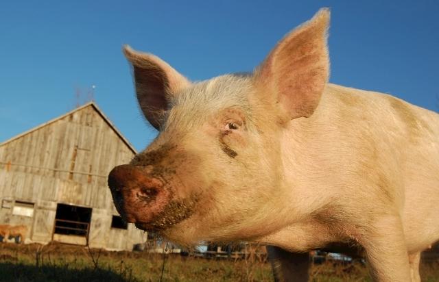9月16日全国生猪价格土杂猪报价表,土杂猪价格涨跌互现,上涨仍是主流走势