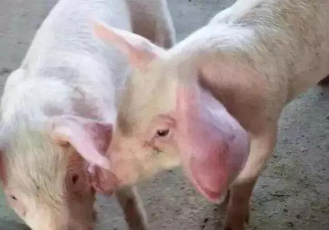 猪耳朵肿大怎么办?一个小方法很快就消失