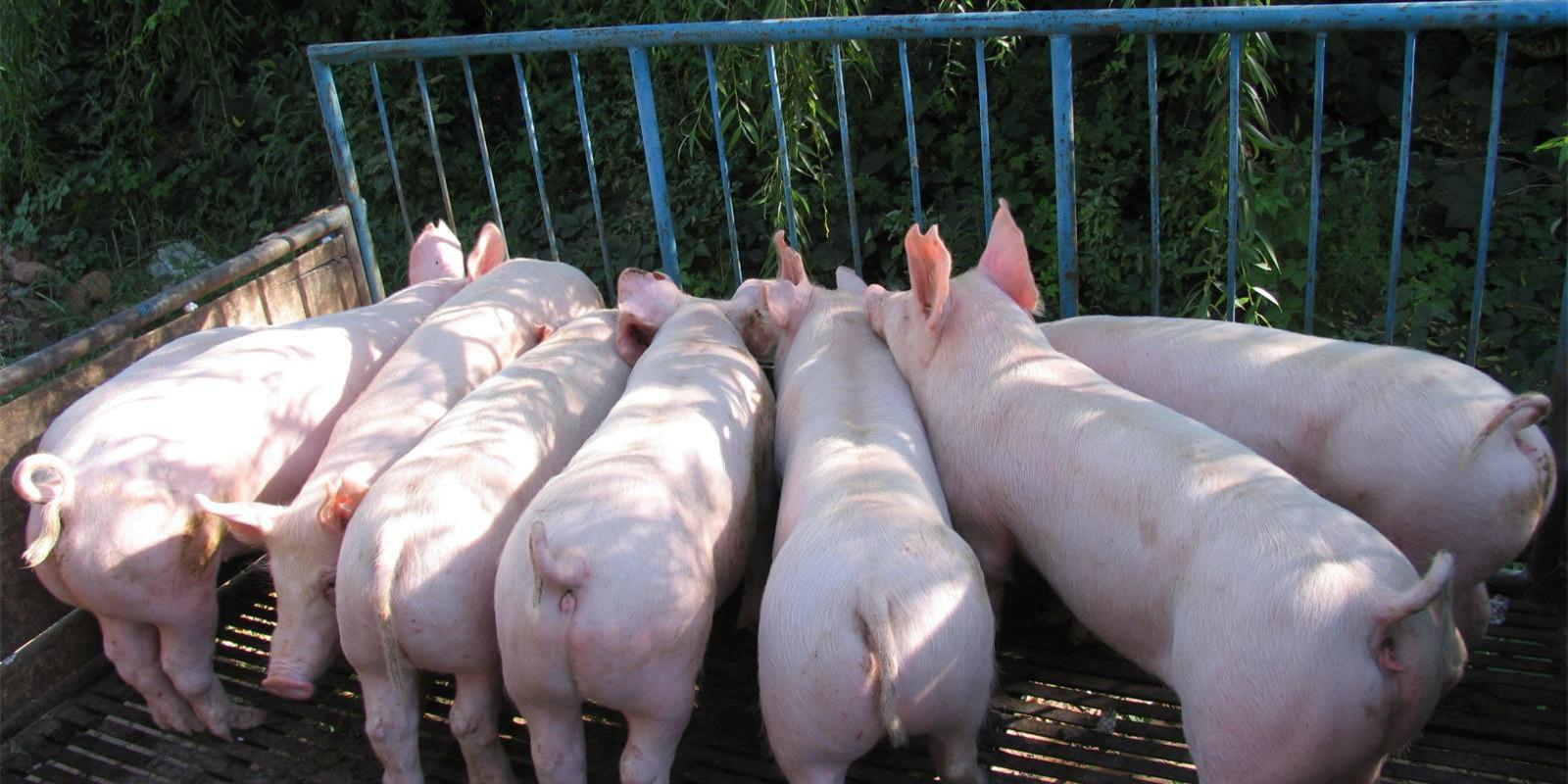 8月生猪、能繁母猪存栏降幅创新低,谁能够置身事外?