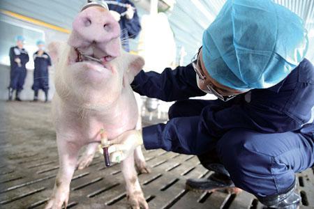 养殖户应该知道的额猪前腔静脉正规采血技术
